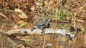 Adult Painted Turtle rock sun basking in Pandapas Pond Park Va. stock video