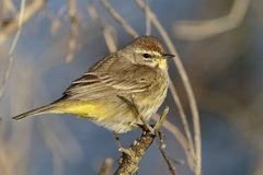Adult Palm Warbler in Late Winter - Melbourne, Florida Stock Photo