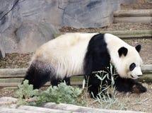 Adult Panda Stock Photos