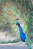 Adult Peacock in Full Display. Profile View of an Adult Peacock in Full Display Royalty Free Stock Photography