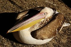 Adult pelican - Pelecanidae - sleeping at shore of a small lake in ZOO Stock Photography
