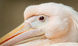 Adult pelican resting Stock Photos