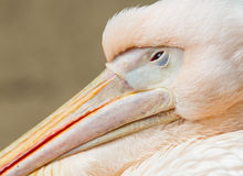 Adult pelican resting Royalty Free Stock Photography