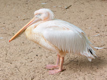 Adult pelican resting Royalty Free Stock Photo