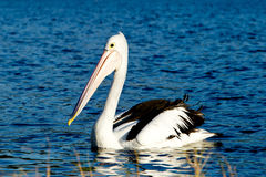 Adult Pelican swimming on lake Stock Photography