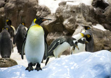 Adult penguin. On the background of a group of penguins Stock Photo