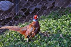 Adult pheasant in the valier strolls through the grass royalty free stock images