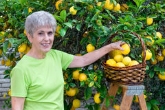 Adult picking lemons Stock Photo