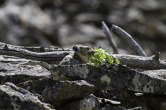 Adult pika (Ochotona princeps) carries food to its haystack Royalty Free Stock Photo