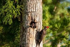 Adult pileated woodpecker bird Dryocopus pileatus feeds baby chi stock photos