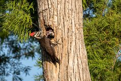 Adult pileated woodpecker bird Dryocopus pileatus feeds baby chi royalty free stock images