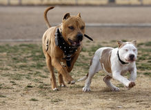 Adult pitbull playing with a puppy Royalty Free Stock Image