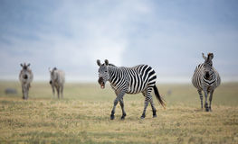 Adult Plains Zebra in the Ngorongoro Crater, Tanzania Stock Photography