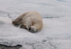 Adult Polar Bear rolling on sea-ice, Svalbard stock images