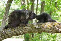 Adult porcupine kissing baby porcupine Royalty Free Stock Images