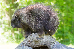 Adult porcupine sitting on log Royalty Free Stock Photography
