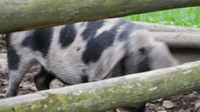 Adult porks moving around in their stable, outdoor stock video footage