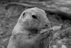 Adult prairie dog feeding - a portrait Stock Images
