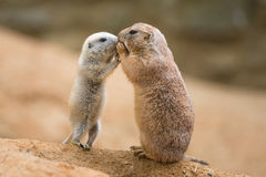 Adult prairie dog (genus cynomys)  and a baby  sharing their foo Royalty Free Stock Photography