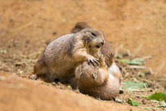 Adult prairie dogs fighting Stock Photography