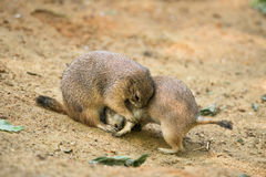 Adult prairie dogs play fighting Royalty Free Stock Images