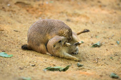 Adult prairie dogs play fighting Stock Images