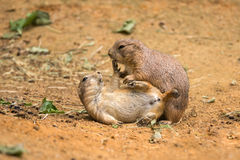 Adult prairie dogs play fighting Royalty Free Stock Photo