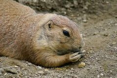 Adult prarie dog feeding Royalty Free Stock Photography
