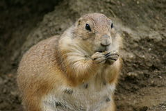 Adult prarie dog feeding Royalty Free Stock Photo