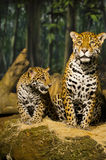 Jaguar Family Royalty Free Stock Photo