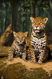 Jaguar Family Royalty Free Stock Photos