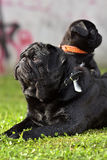 Adult pug with his son. Baby pug with his father stock photo