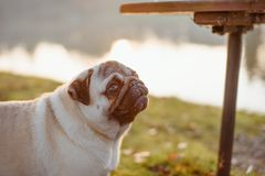 An adult cute dog, pug, male is standing on green grass, next to a bench in a park, near a lake or a pond, during sunset royalty free stock photography