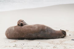 Adult and pup Galapagos sea lions asleep Stock Image