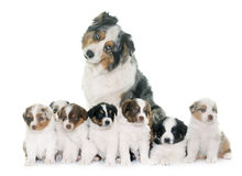 Adult and puppies australian shepherd Stock Image