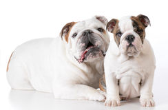 Adult and puppy bulldog Royalty Free Stock Photo