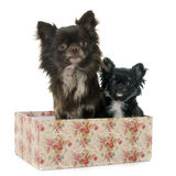 Adult and puppy chihuahua Royalty Free Stock Image