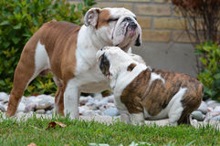 Adult and puppy dog Royalty Free Stock Photography