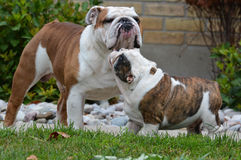 Adult and puppy dog Royalty Free Stock Image