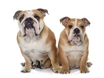 Adult and puppy english bulldog Stock Photography