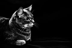 Adult purebred gray cat Stock Photo