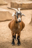 Adult Pygmy Goat Royalty Free Stock Photography