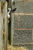 Pygmy goats. Adult pygmy goat looking around stable door Stock Image