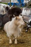 Pygmy goats. Adult pygmy goats with a kid riding on the back Royalty Free Stock Photos