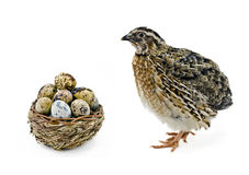 Adult quail and basket with its eggs Stock Photos
