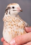Adult quail Stock Photos