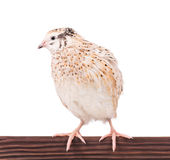 Adult quail Stock Images