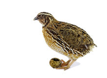 Adult quail with egg isolated on white background Royalty Free Stock Image