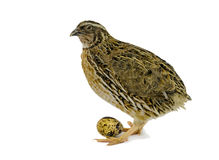 Adult quail with egg isolated on white background. Domesticated quails are important agriculture poultry Royalty Free Stock Photo