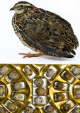 Adult quail of Japanese strain Royalty Free Stock Photo
